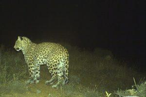 В Азербайджане засняли детенышей кавказского леопарда (ФОТО)