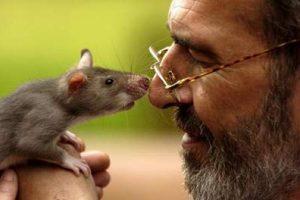 Крыса — предок человека?