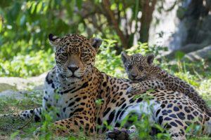 В Азербайджане все больше леопардов