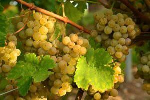 Производство винограда в Азербайджане идет полным ходом, но…