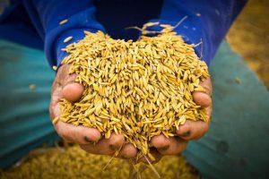 Сколько Азербайджан может заработать на рисоводстве?
