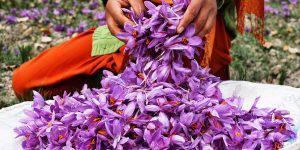 Азербайджан мог бы заработать миллионы на производстве и экспорте шафрана