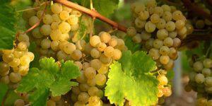 Производство винограда в Азербайджане идет полным ходом, но...
